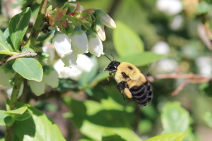 Many different species of bees pollinate specialty crops, including this bumble bee (Bombus griseocollis) visiting a blueberry flower. PHOTO TAKEN BY Jason Gibbs, postdoctoral scientist at Michigan State University