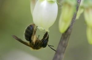 Andrena carolina - EM 4