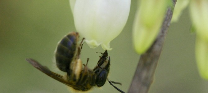 Pollinator Conservation Tactics for Organic Fruit Production