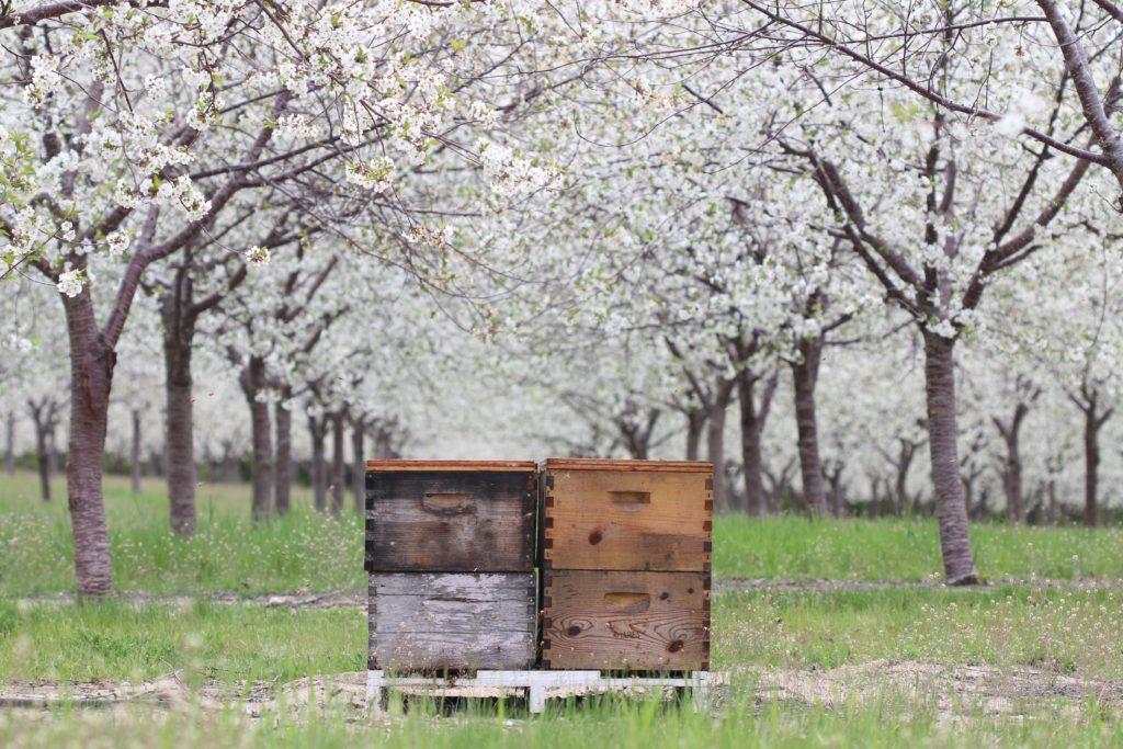 Honey bee hives in a Michigan cherry orchard