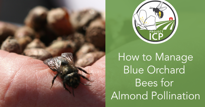 New Video: Managing Blue Orchard Bees for Almond Pollination