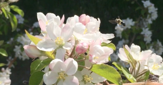 Apple pollination relies on diverse wild bee communities