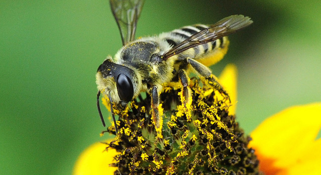 Agriculture's Wild Ways: Feature article on the Integrated Crop Pollination Project