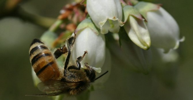 New Study Compares Blueberry Pollination in Different North American Growing Regions